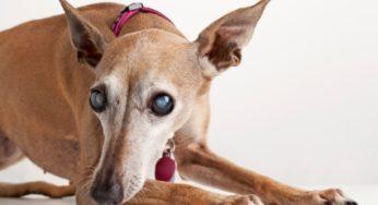 Chien souffrant de cataracte