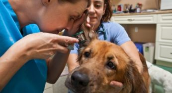 Examen à l'otoscope du conduit auditif d'un chien