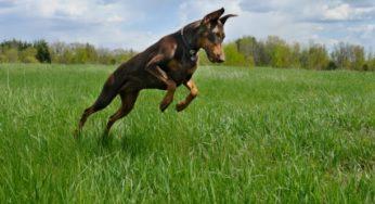 Dobermann qui court et saute