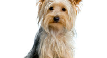Yorkshire Terrier assis