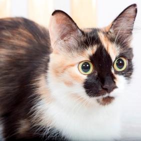 Surveillez le comportement de votre chatte