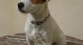 Lire la suite: Le Jack Russell Terrier