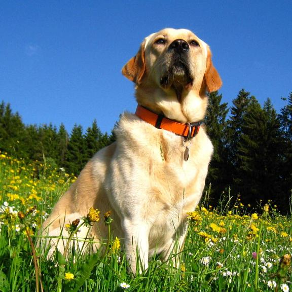 Lire la suite: Le Labrador