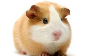 Lire la suite: Les besoins nutritionnels du cobaye ou cochon d'inde