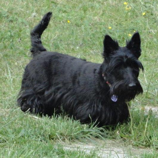 Lire la suite : Le Scottish Terrier