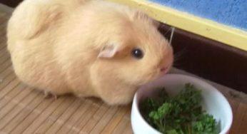 Lire la suite: Le cochon d'Inde ou cobaye : Habitat