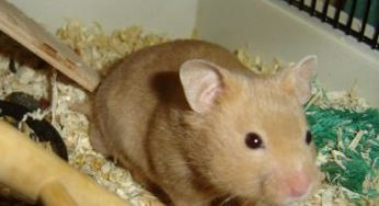 L'habitat du hamster