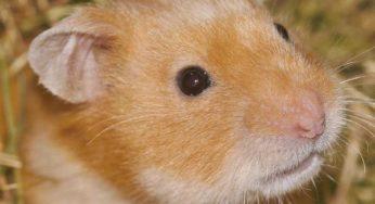 Hygiene et soins du hamster