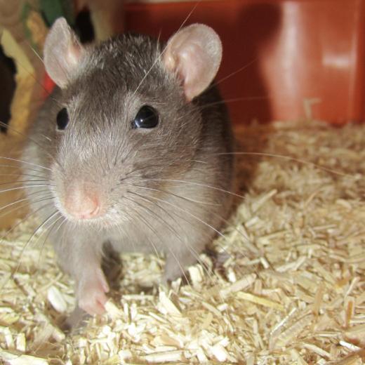 Lire la suite: Le rat : Habitat
