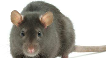 L'hygiene du rat