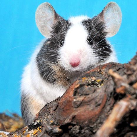 Lire la suite: La souris : Habitat