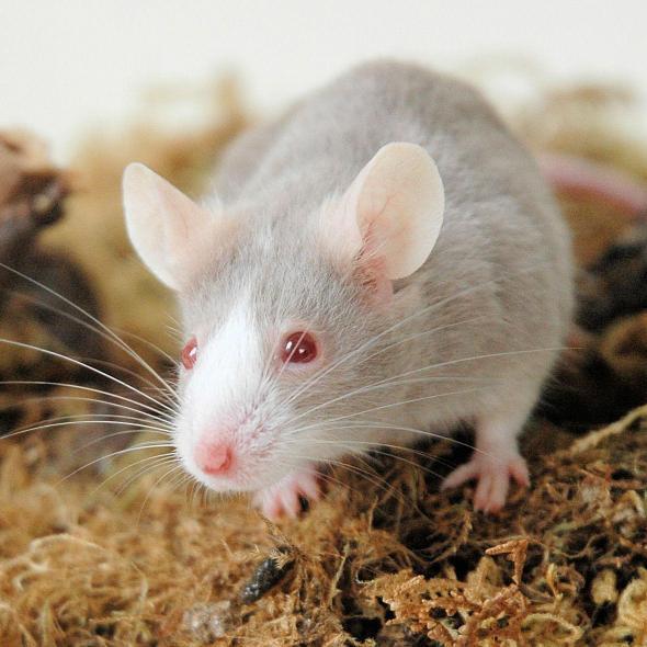 Hygiène et soins de la souris