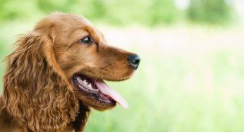 Identification du chien