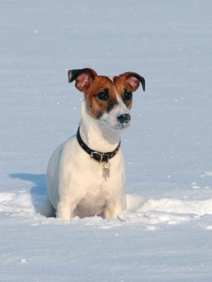 Jack russel qui court dans la neige