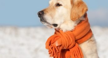 Labrador avec une écharpe