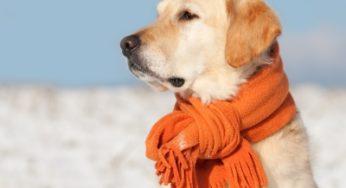 http://www.wanimo.com/veterinaire/cache/multithumb_thumbs/b_250_0_16777215_00_images_articles_chien_labrador-echarpe.jpg