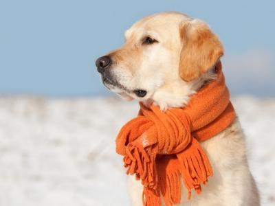 La r sistance au froid chez le chien probl mes saisonniers chez le chien sant chiens - Camelia resistance au froid ...