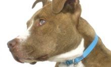 Lire la suite: Nouvelle loi sur les chiens classés