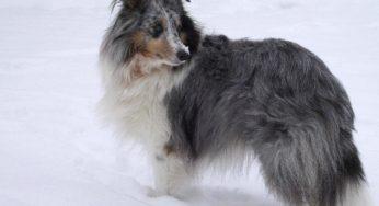 Un chien peut passer l'hiver dehors à condition d'être en bonne santé