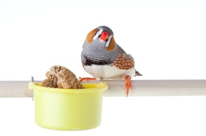 Diamant mandarin avec sa mangeoire de graines