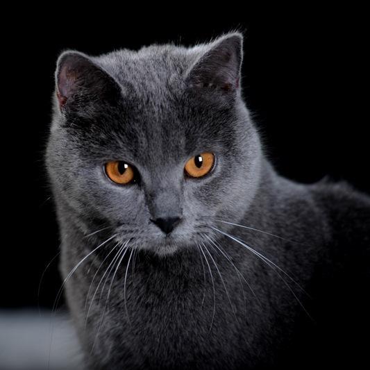 le chartreux races de chats accueillir un chat chats. Black Bedroom Furniture Sets. Home Design Ideas