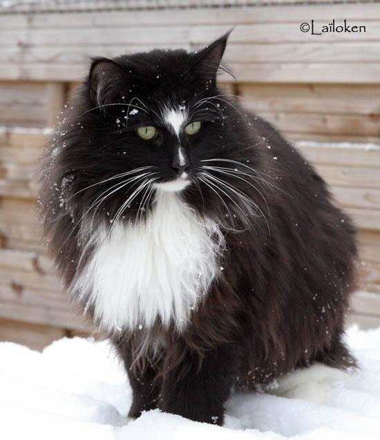 Le chat norvégien