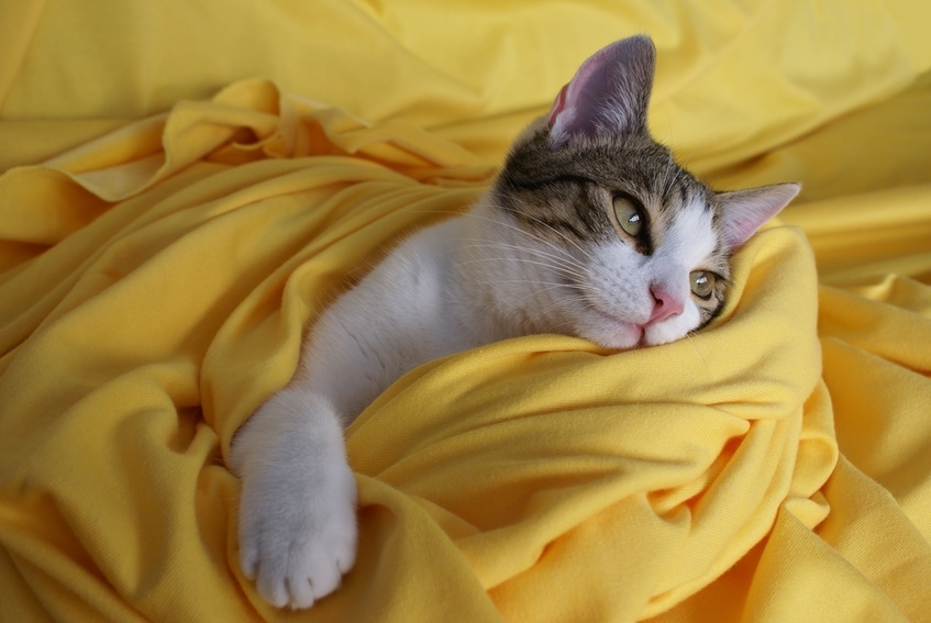 Chat dans drap jaune