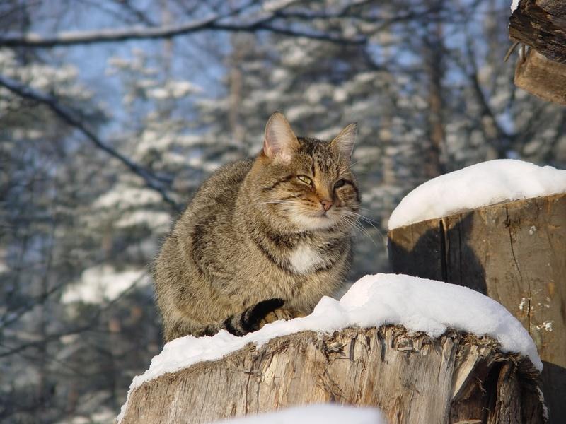 Hiver  le chat ayant accès à l\u0027extérieur