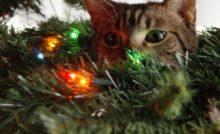Lire la suite: Les dangers de Noël chez le chat