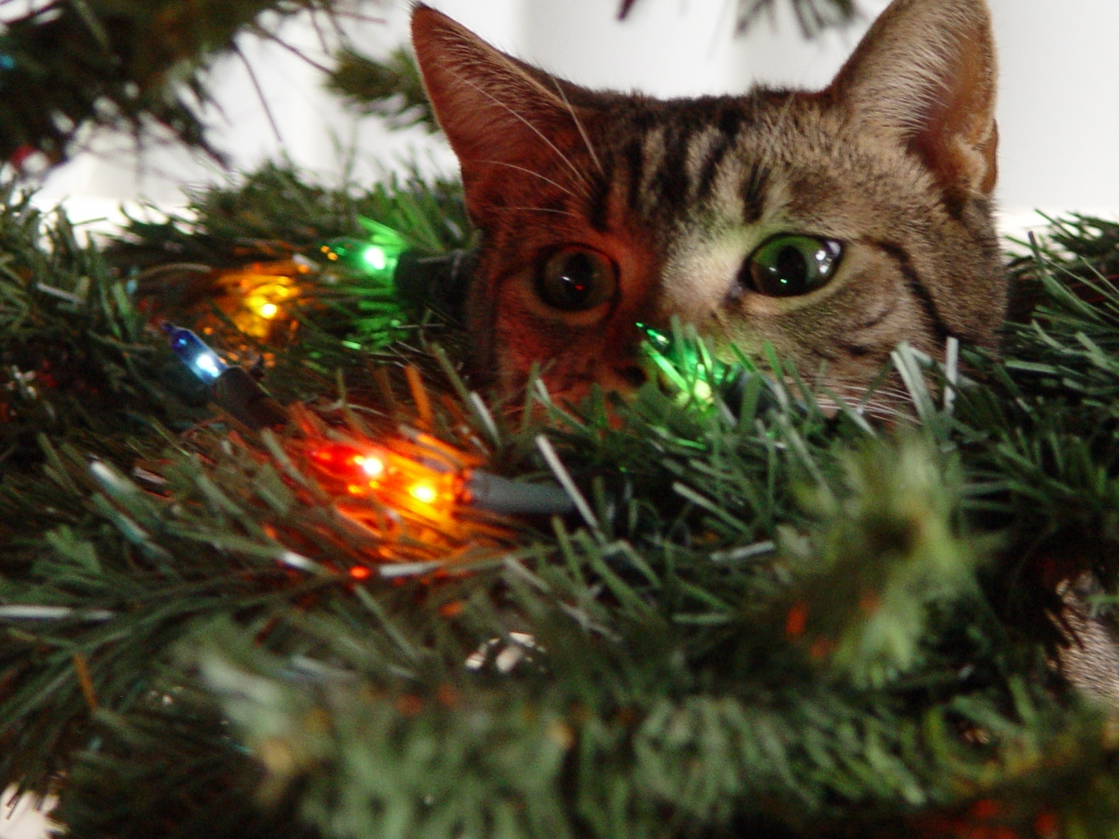A Noël, les dangers guettent votre chat. Soyez vigilants !
