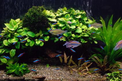 Aquarium avec poissons cardinalis et gouramis