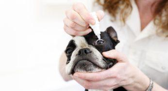 Lire la suite: La conjonctivite chez le chien