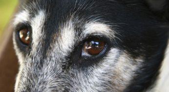 larmoiement chez le chien