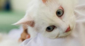 Epilepsie et crise convulsive du chat