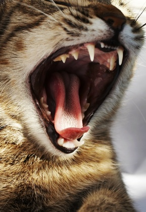 Lire la suite : La gingivostomatite chez le chat