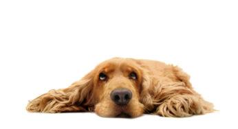 chien-hypothyroïdie