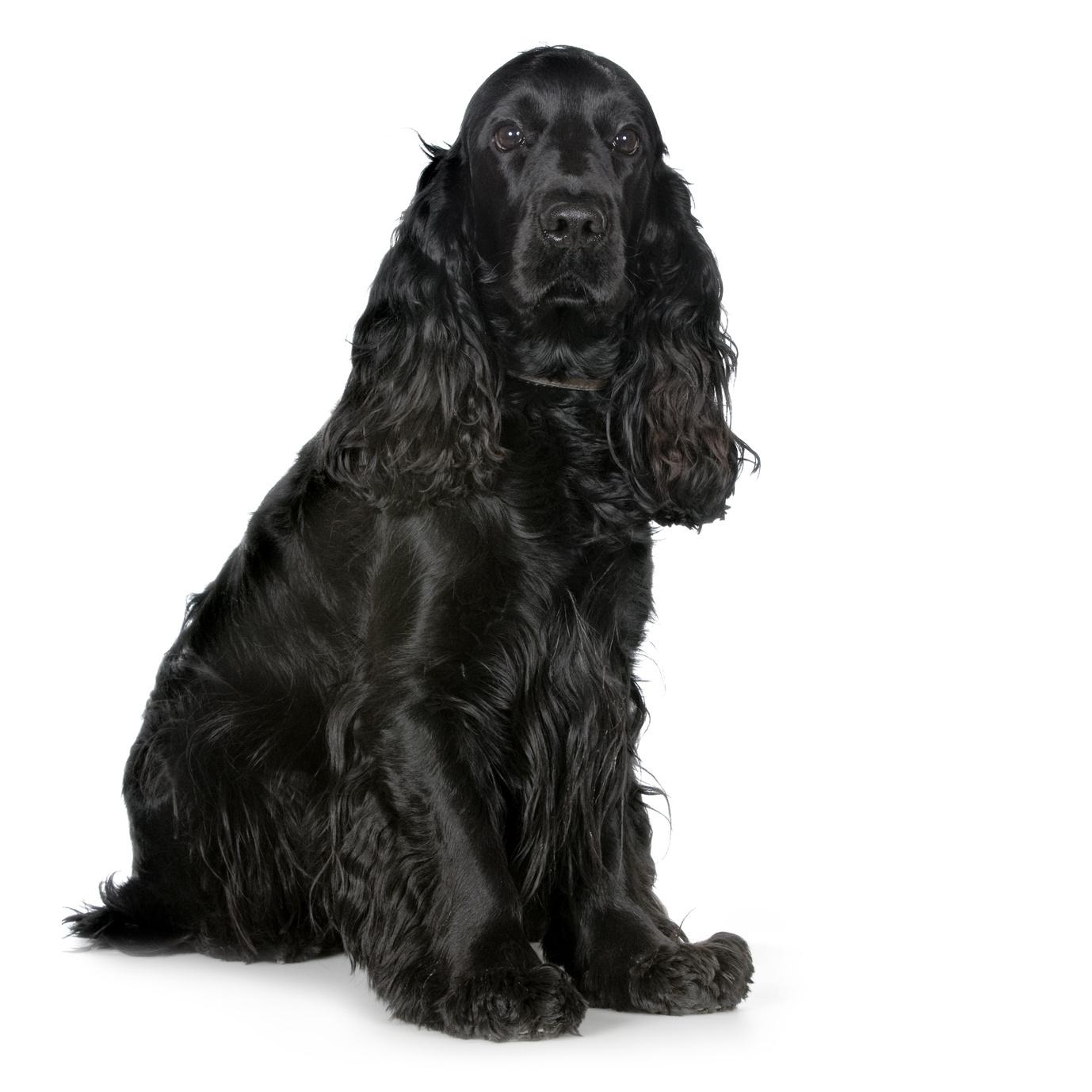Cocker noir