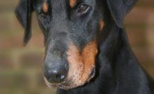 Lire la suite: Les calculs urinaires du chien
