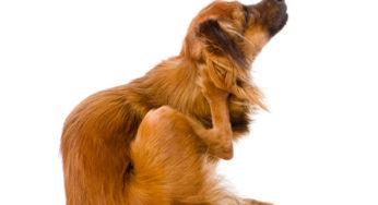 les d mangeaisons chez le chien dermatologie du chien sant chiens. Black Bedroom Furniture Sets. Home Design Ideas