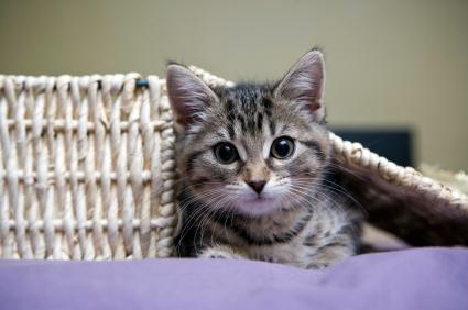 Petit chaton dans un panier