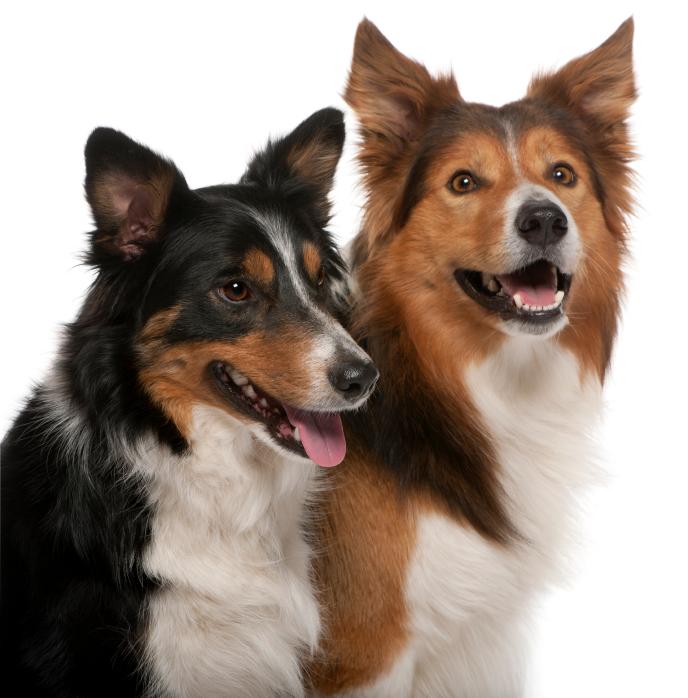 le chien agressif avec ses cong n res comportement du chien education chiens. Black Bedroom Furniture Sets. Home Design Ideas