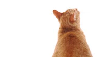Estimez l'indice corporel de votre chat