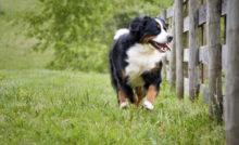 Anticiper une fugue de votre chien