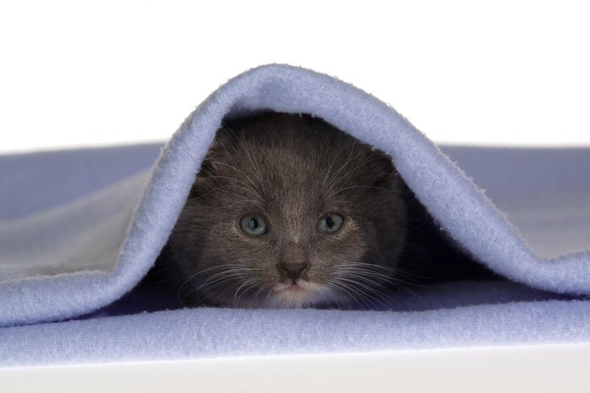 Chaton sous couverture