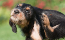 Lire la suite: Vrai/Faux sur les parasites du chien