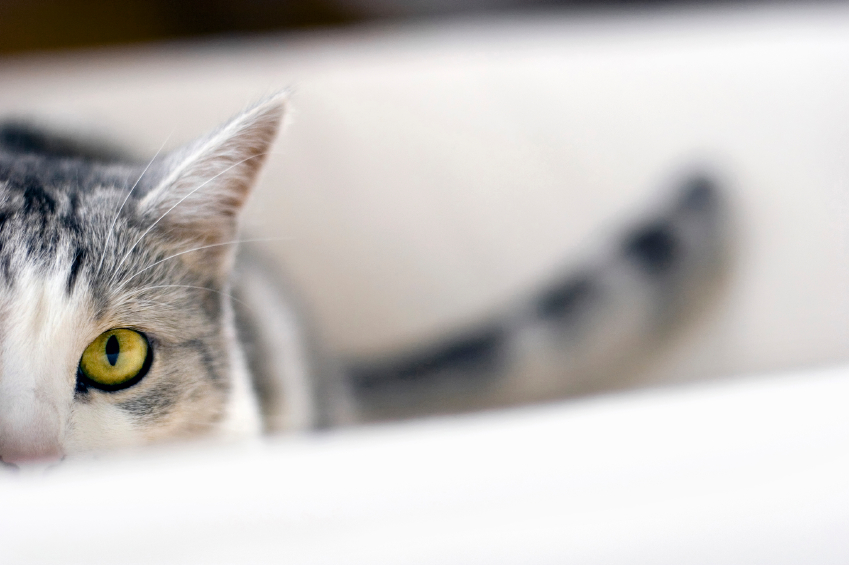 Anxiété de cohabitation chez le chat