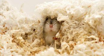 Lire la suite: Perte de poils chez les rongeurs et lapins