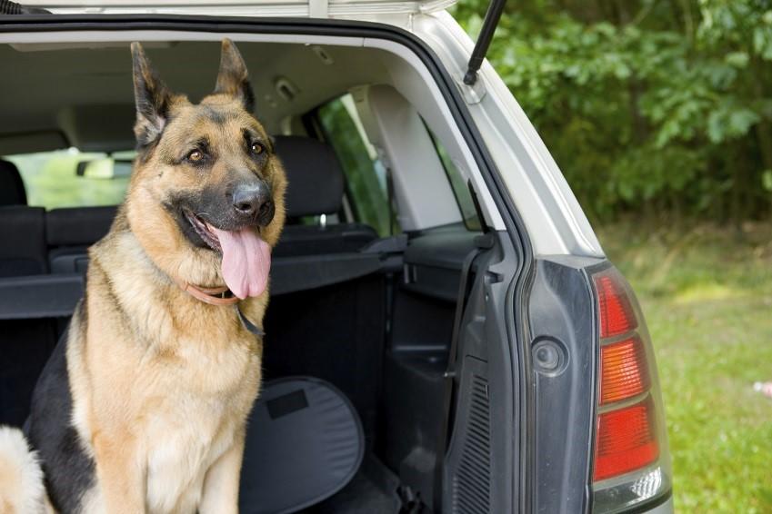 Mal des transports chez le chien ou le chat