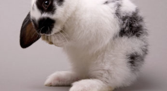 caecotrophie chez le lapin