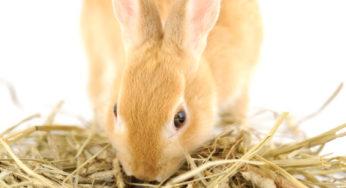La propreté du lapin